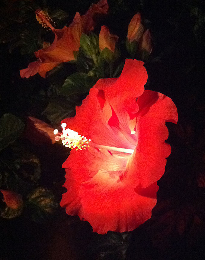 nite_flower_red_1_12_72_.jpg